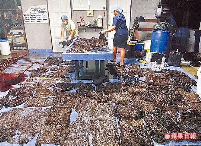 從鯨魚肚裡取出80多個塑膠袋,令人咋舌。路透