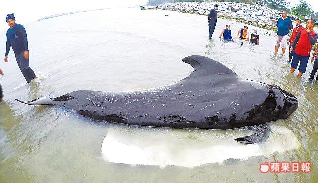 一頭短肢領航鯨上周一擱淺在泰國南部運河裡,保育團體到現場搶救。法新社